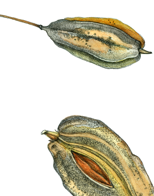 Silverbell Seed by Ippy Patterson, botanical print on paper, 30 x 22 at Craven Allen Gallery